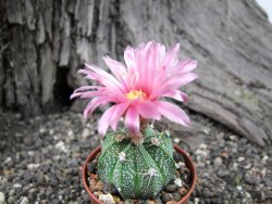 Astrophytum X crassispinoides red flower, pot 5,5 cm - 12373387