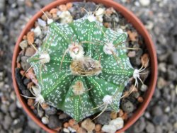 Astrophytum X crassispinoides red flower, pot 5,5 cm - 12373388