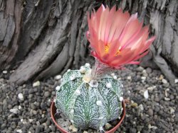 Astrophytum x crassispinoides A flower, pot 7 cm